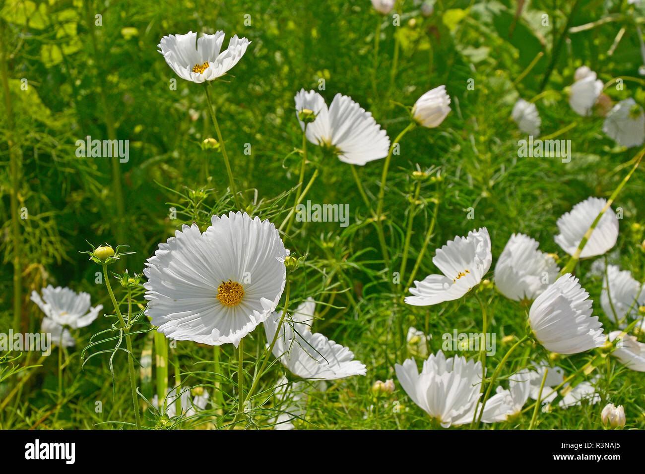 Close up of a flower border with flowering Cosmos bipinnatus 'Cupcakes White' Stock Photo