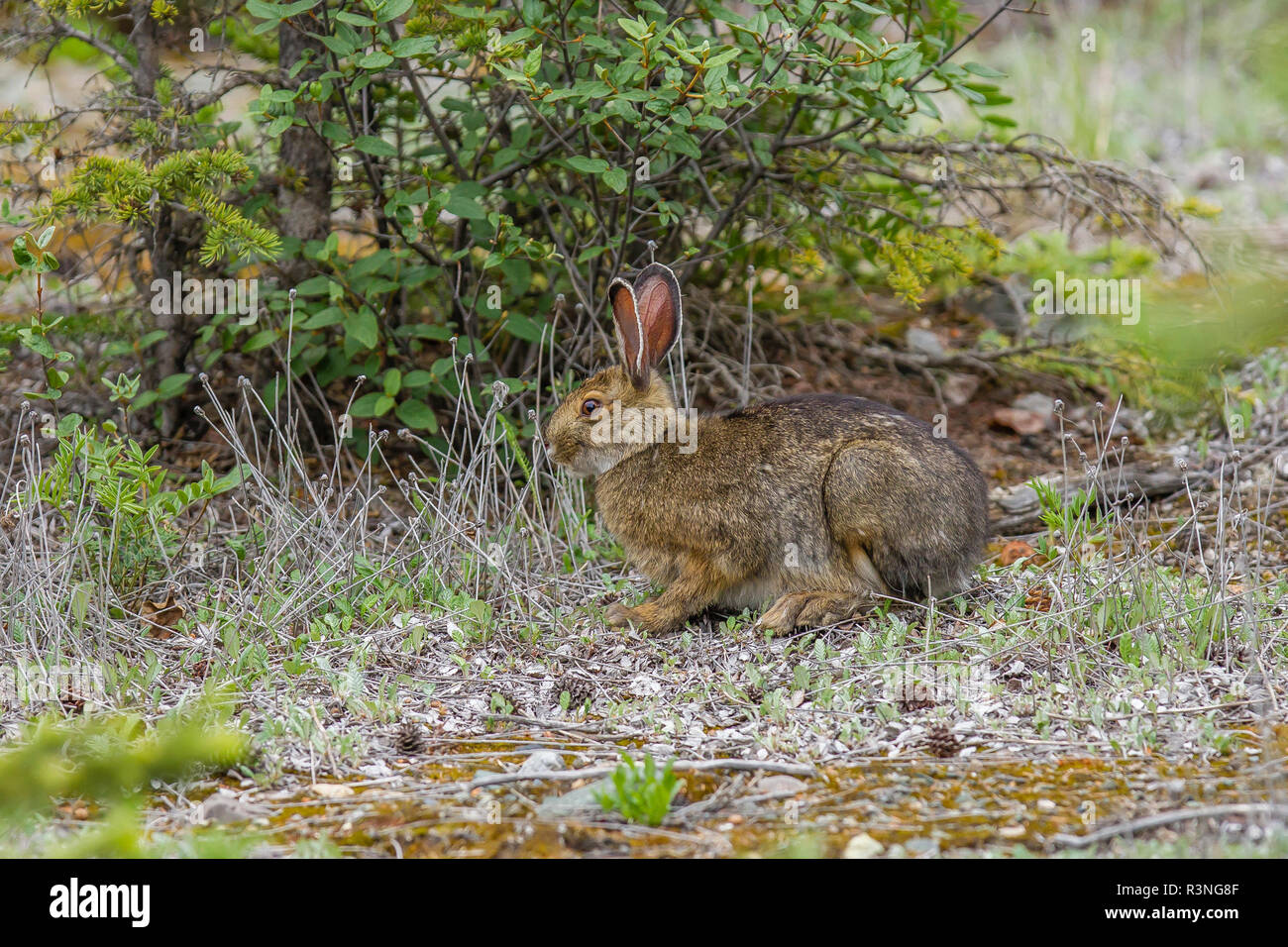Canada, Yukon Territory, Destruction Bay. Arctic Hare (Lepus arcticus) browsing at Congdon Creek. - Stock Image