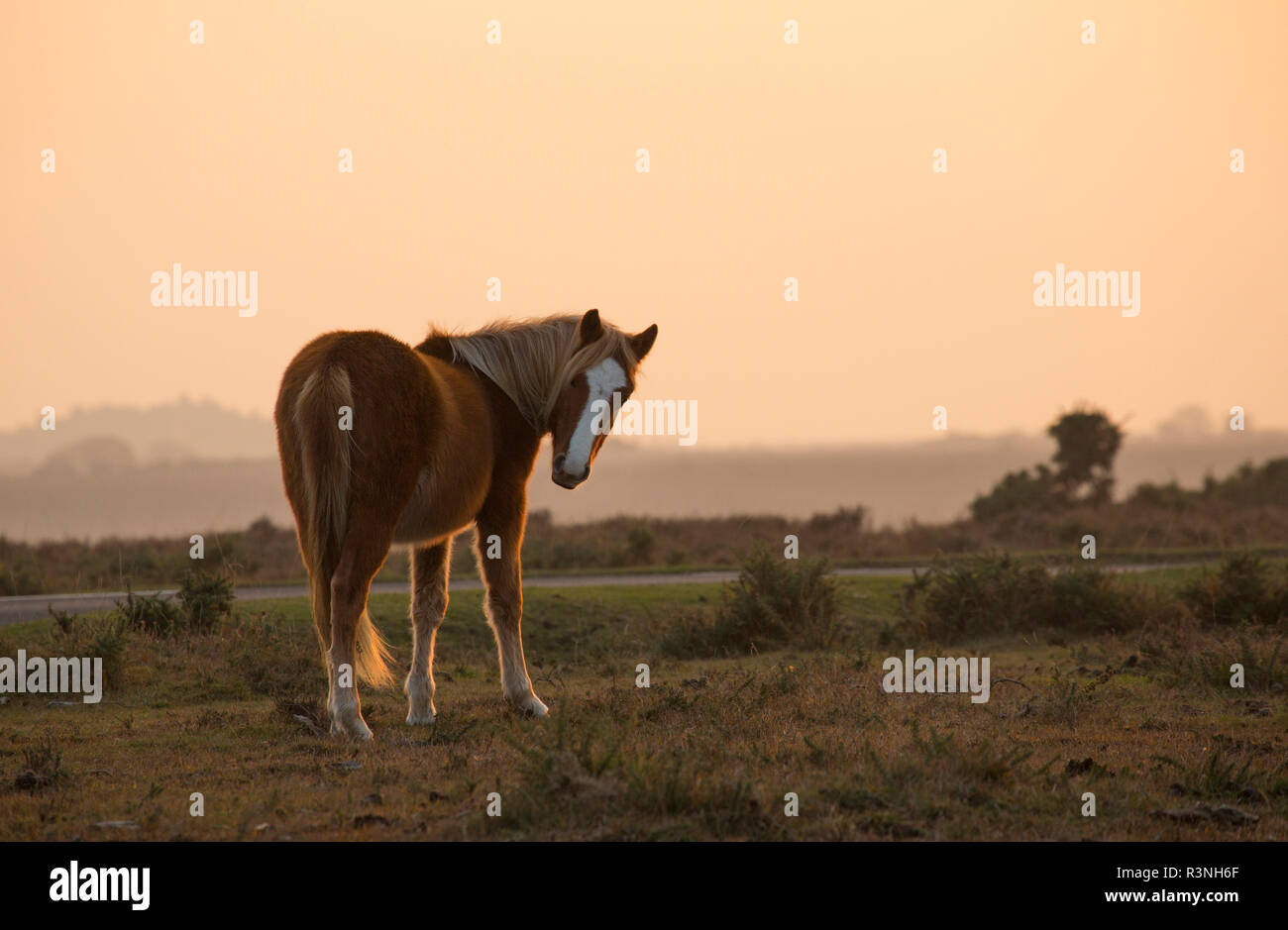 A New Forest pony in late afternoon November light in the New Forest next to a road. New Forest Hampshire England UK GB Stock Photo