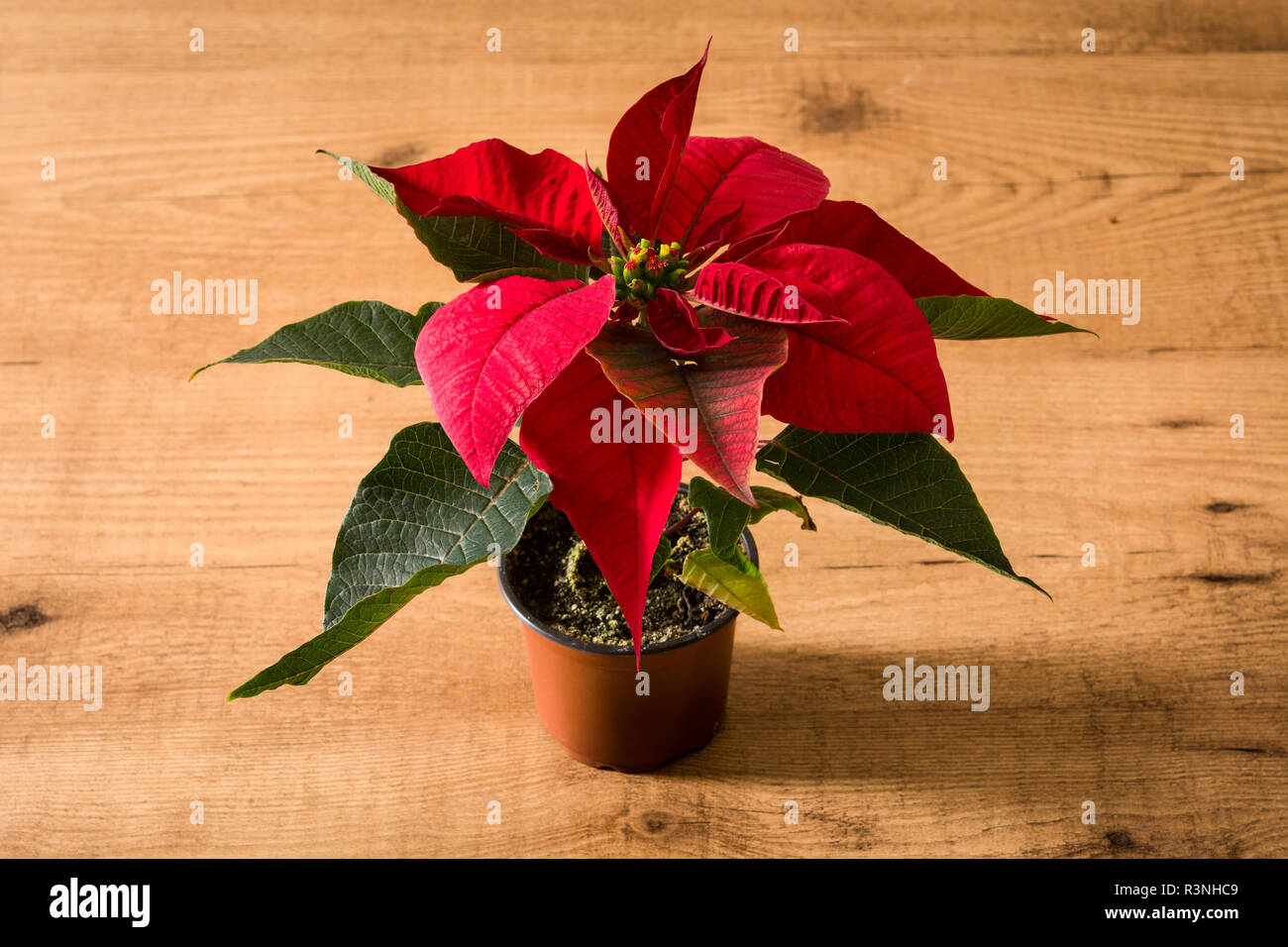 Christmas poinsettia flower on wooden table. - Stock Image