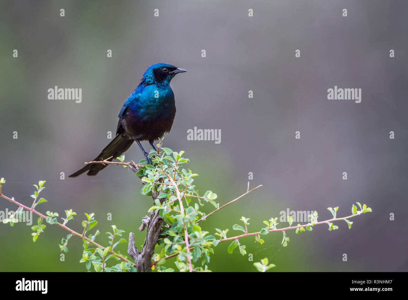 Meves's Glossy Starling in Mapungubwe National park, South Africa. Specie Lamprotornis mevesii family of Sturnidae - Stock Image