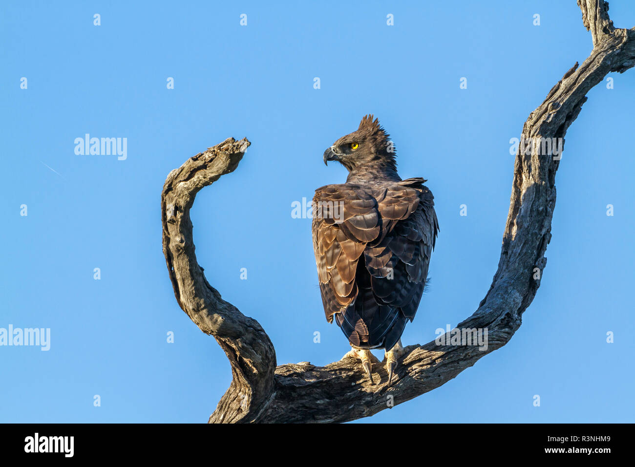 Martial Eagle (Polemaetus bellicosus) in Kruger National park, South Africa. Specie Polemaetus bellicosus family of Accipitridae - Stock Image