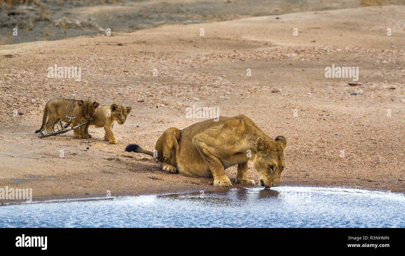 African lion (Panthera leo) in Kruger National park, South Africa. Stock Photo