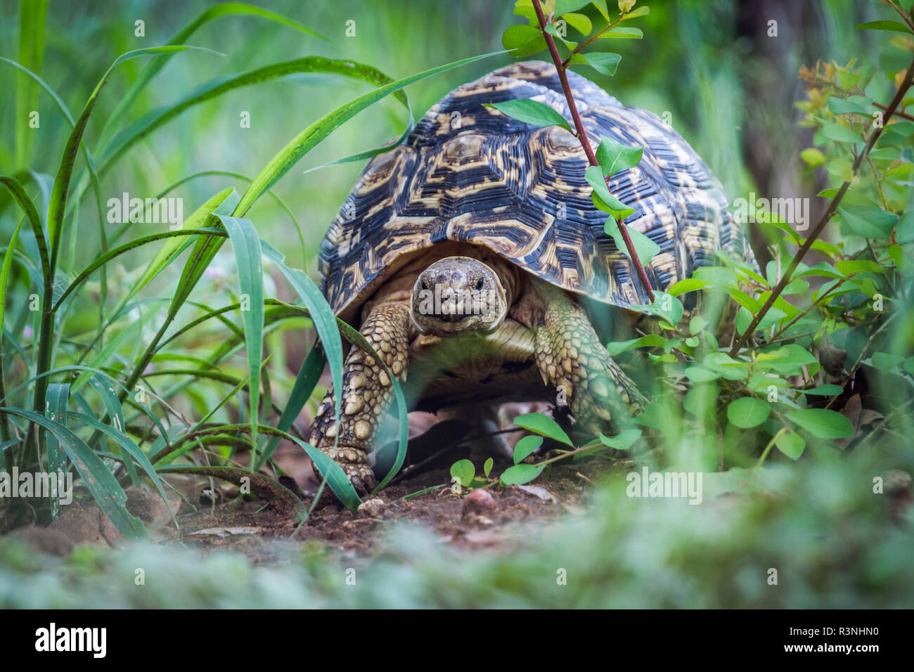 Leopard tortoise (Stigmochelys pardalis) in Kruger National park, South Africa. - Stock Image