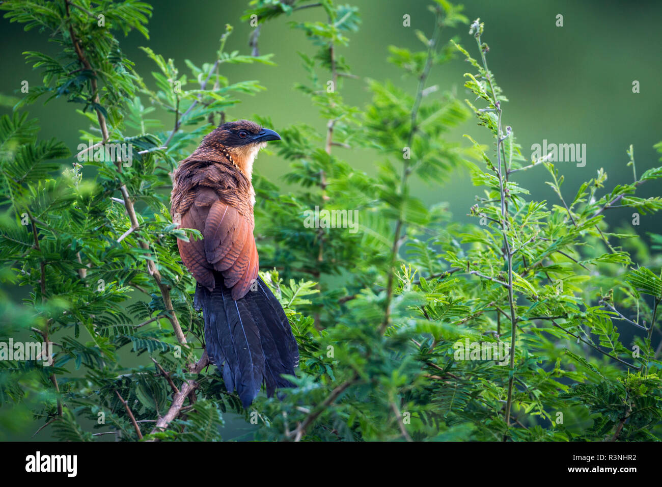 Burchell Coucal (Centropus burchellii) in Kruger National park, South Africa. - Stock Image