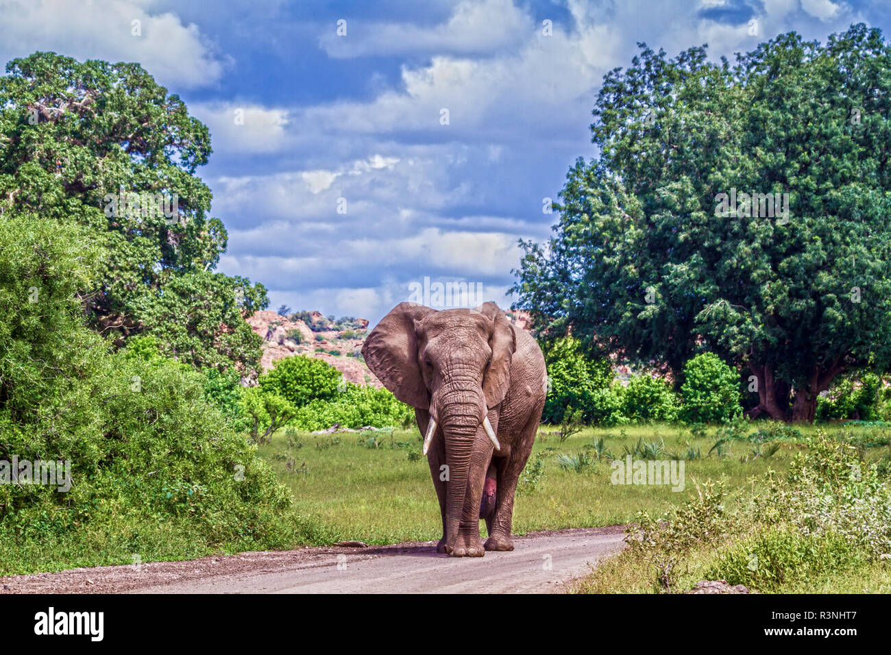 African bush elephant (Loxodonta africana) in Mapungubwe National park, South Africa. - Stock Image