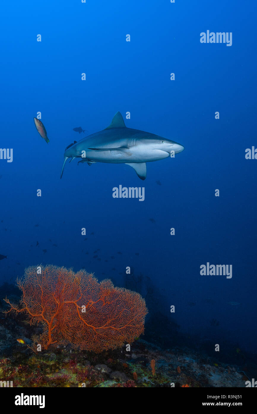 Grey reef shark (Carcharhinus amblyrhynchos) swimming not far from the outer slope of the Mayotte lagoon. - Stock Image