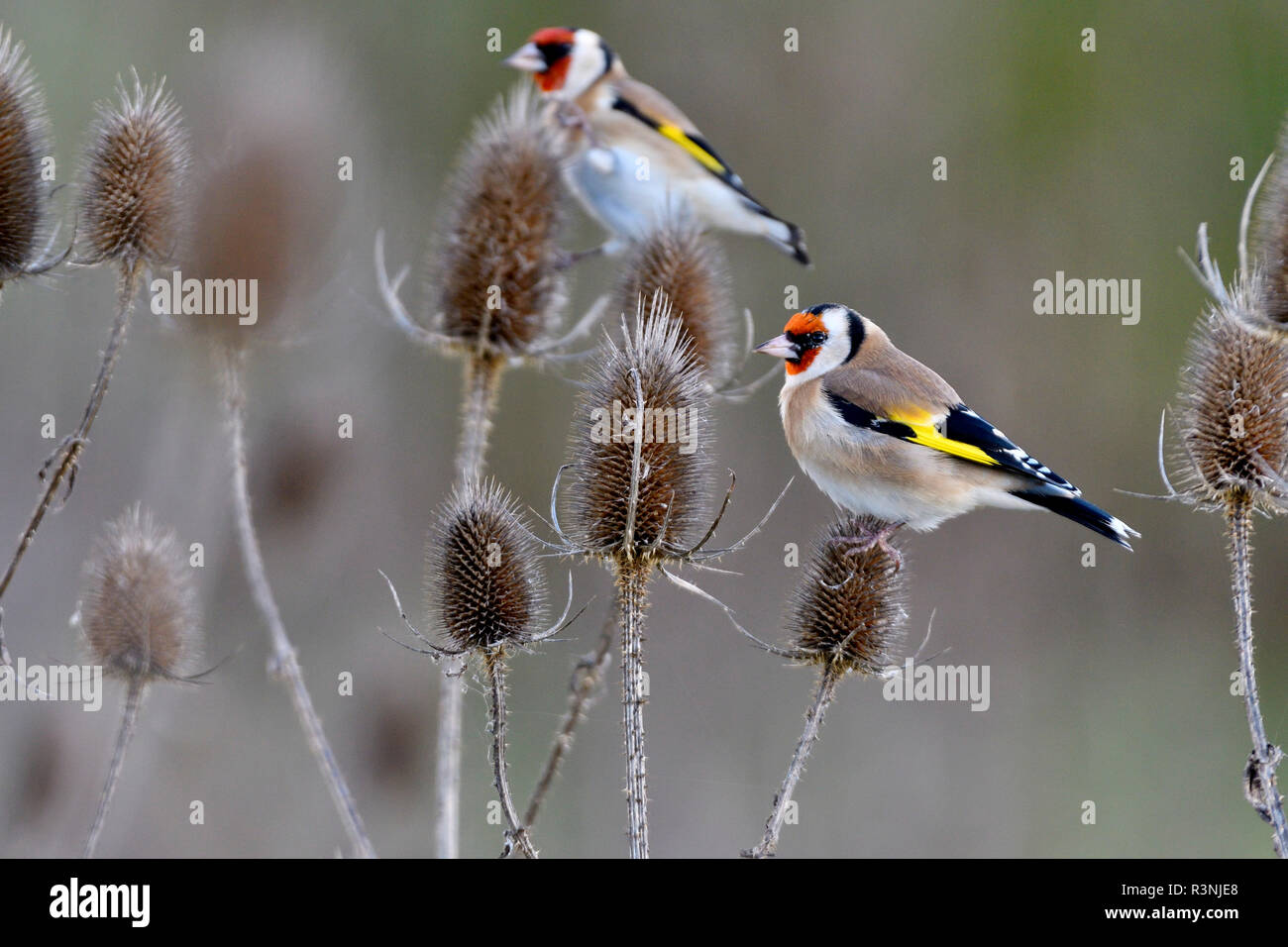 European Goldfinches (Carduelis carduelis) feeding on teasel seeds, France - Stock Image