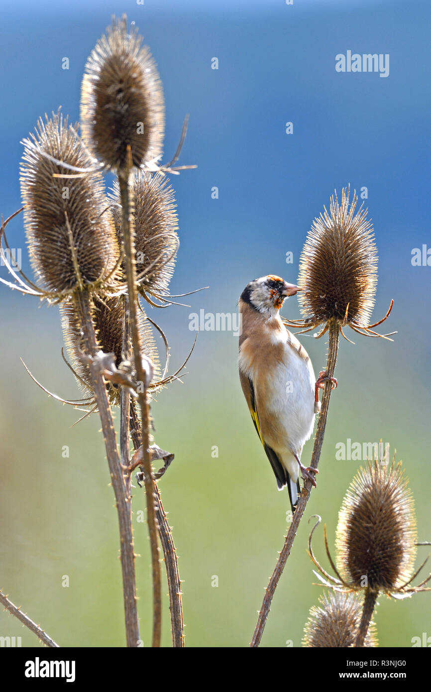 European Goldfinch (Carduelis carduelis) feeding on teasel seeds, France - Stock Image