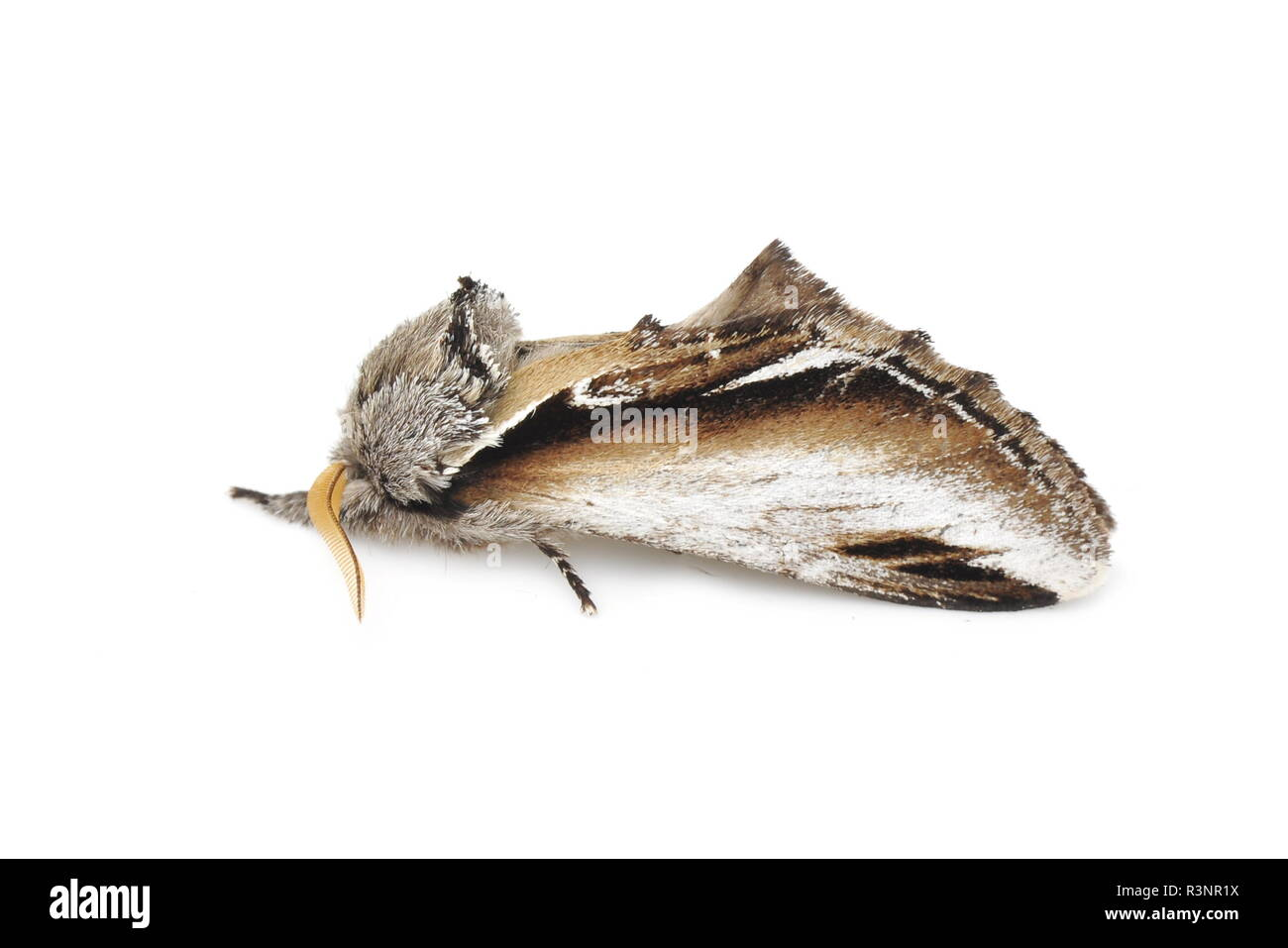 The Swallow Prominent moth Pheosia tremula isolated on white background - Stock Image