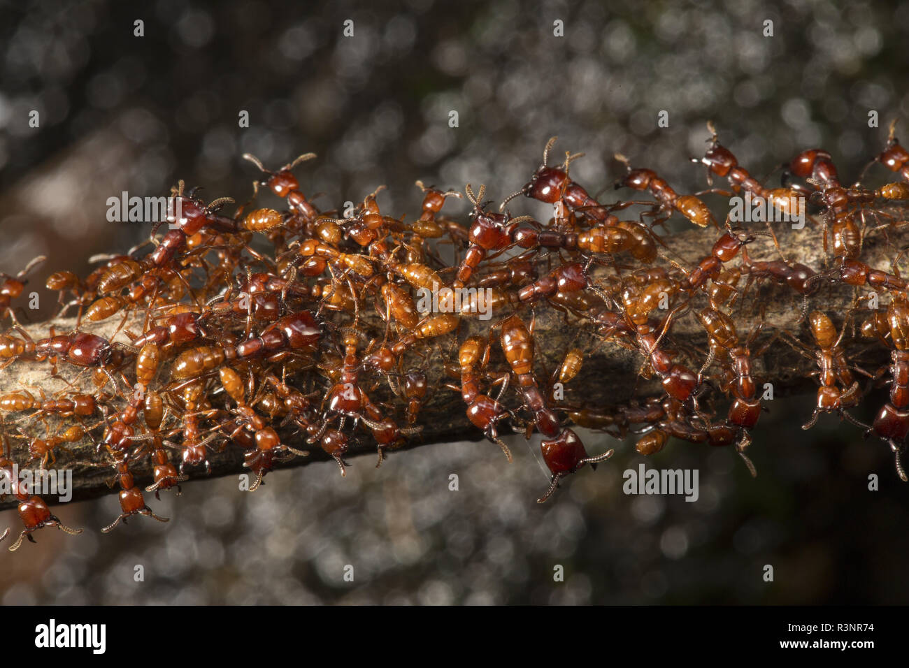 Nomade ants, Cameroon Stock Photo