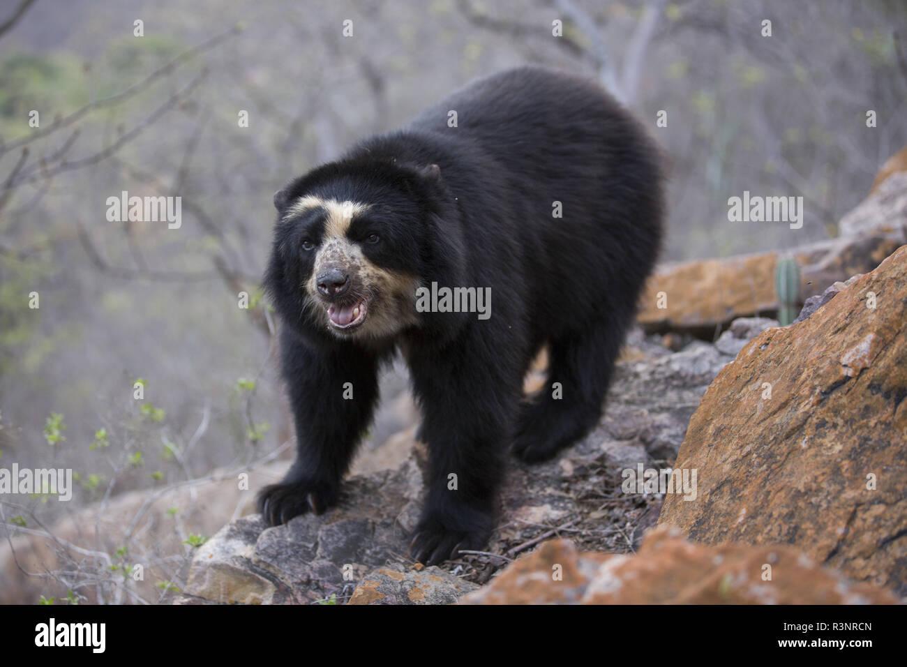 Spectacled Bear (Tremarctos ornatus) Chaparri Reserve, Andean Piemont, Peru Stock Photo