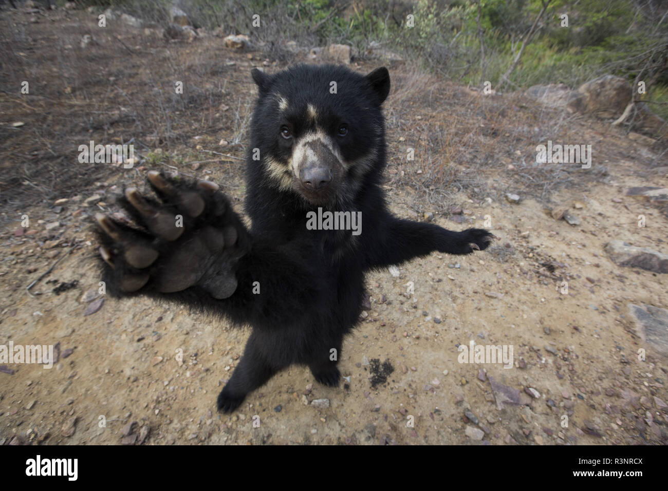 Spectacled Bear (Tremarctos ornatus) Chaparri Reserve, Andean Piemont, Peru Stock Photo