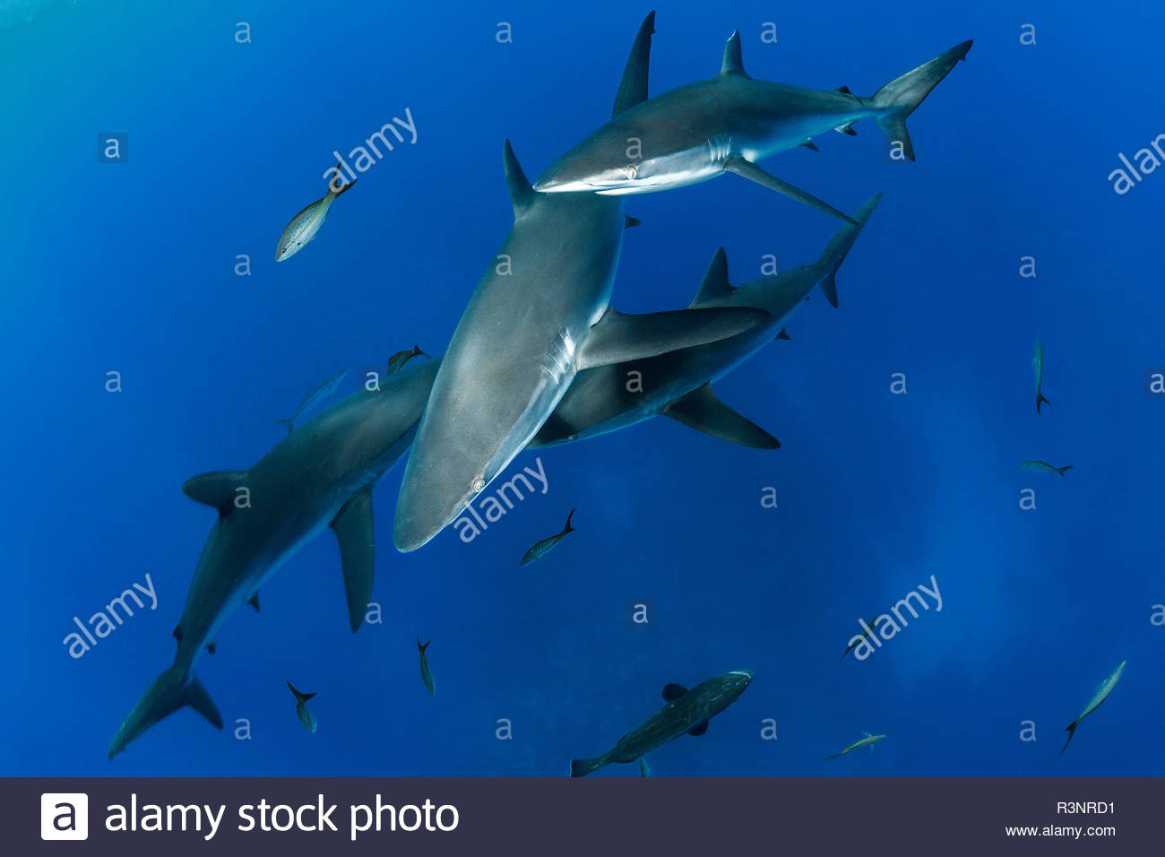 Group of Silky Sharks (Carcharhinus falciformis), Queen's Gardens National Park, Cuba - Stock Image