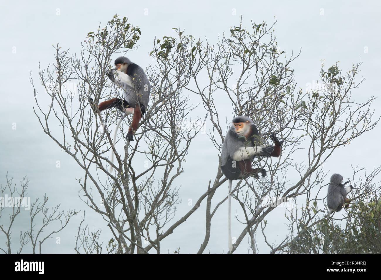 Red-shanked Douc langur (Pygathrix nemaeus) Adult male and females on a tree, Vietnam - Stock Image