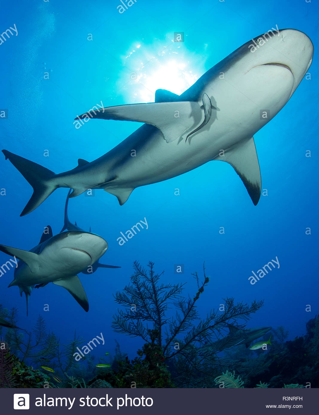 Group of reef sharks (Carcharhinus perezi), Queen's Gardens National Park, Cuba - Stock Image