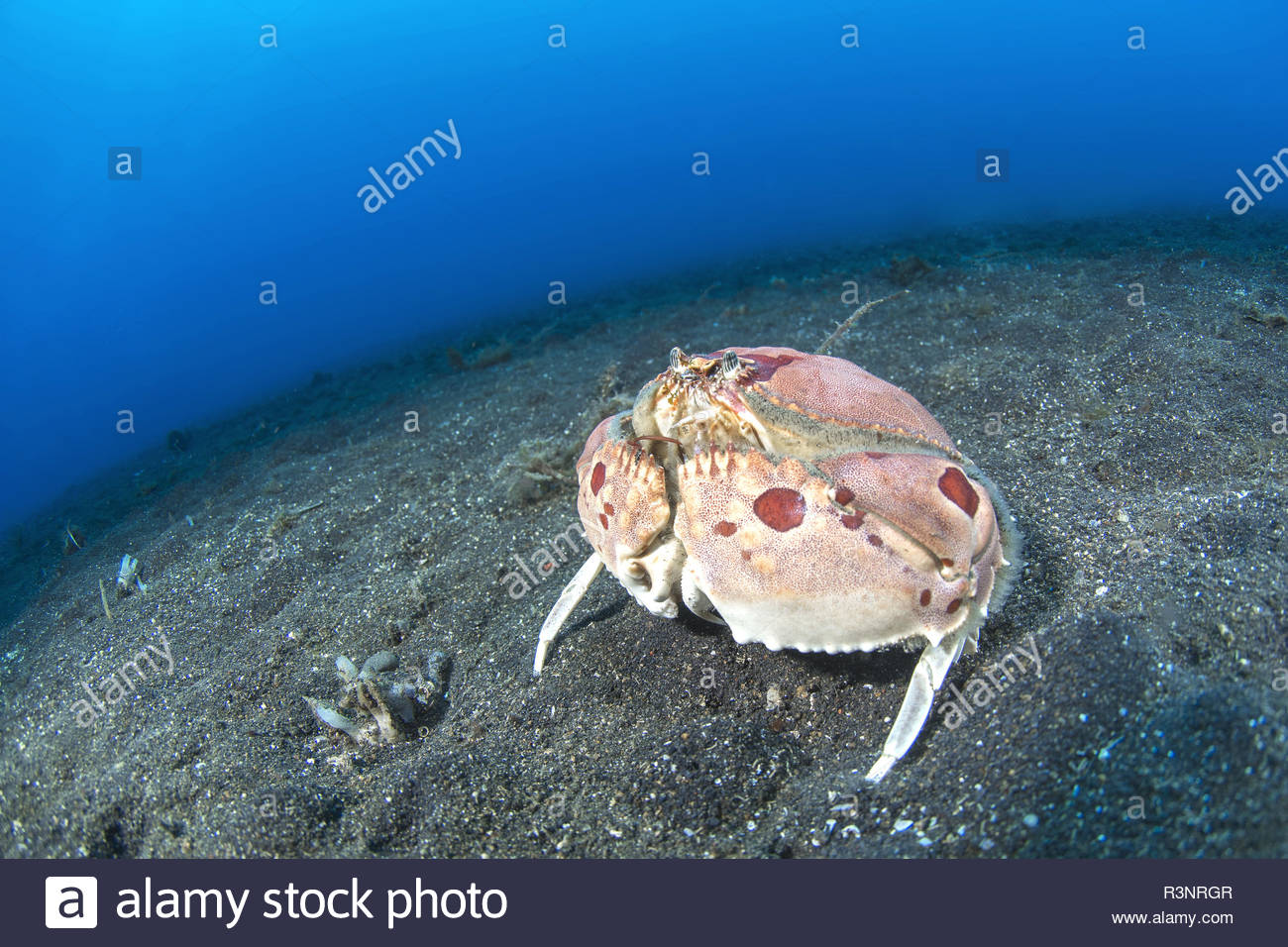 Spectacled box Crab (Calappa philargius) on the sand, Lembeh Strait, Indonesia - Stock Image