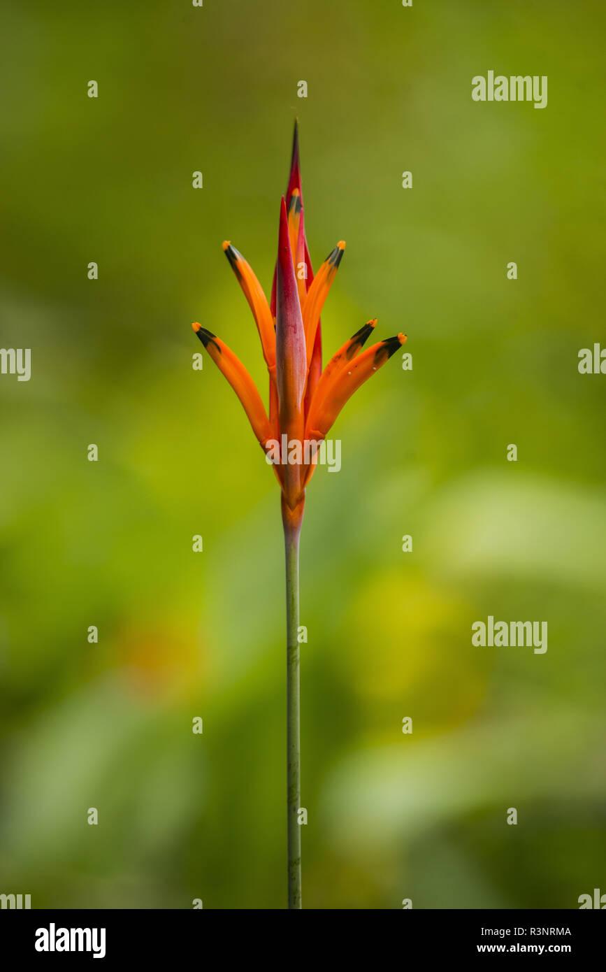 Parakeetflower (Heliconia psittacorum), Tenorio Volcano National Park, Costa Rica - Stock Image