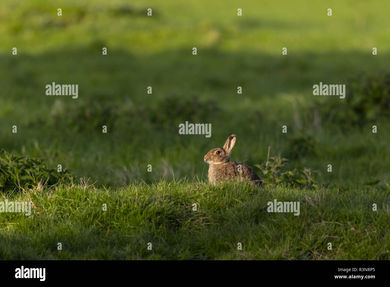 Rabbit (Oryctolagus cuniculus) laying in a meadow, England - Stock Image