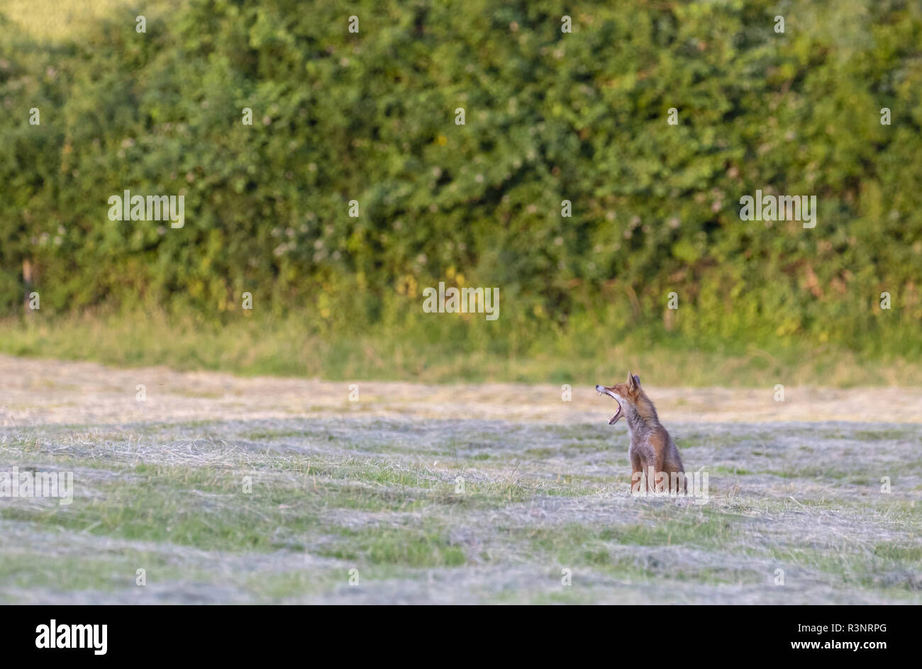 Red fox (Vulpes vulpes) yanning, Engalnd - Stock Image