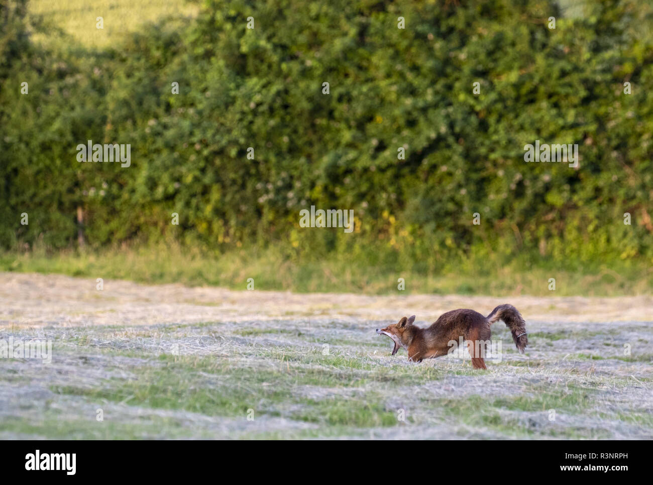 Red fox (Vulpes vulpes) stretching in a meadow, England - Stock Image