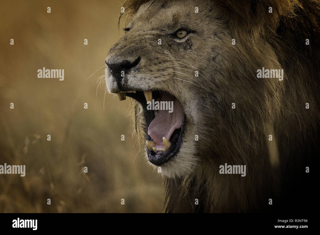 A dominant Lion (Panthera leo) snarls in the Maasai Mara, Kenya. Thick haze shrouding the horizon lead to some deep golden colours in the valley, as two male Lions walked through the long grass after feasting on a Hippo overnight. - Stock Image