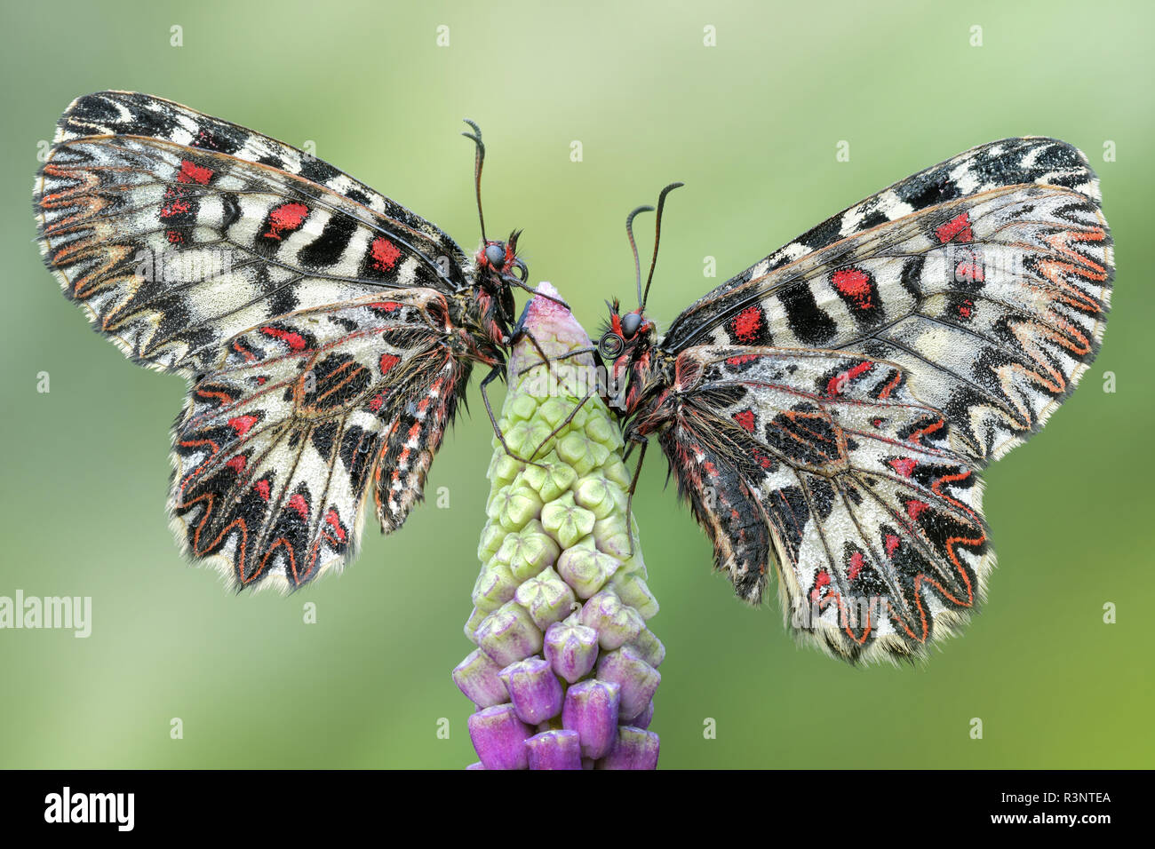 Zerynthia polyxena, pair resting on a bud of Muscari comosum - Stock Image