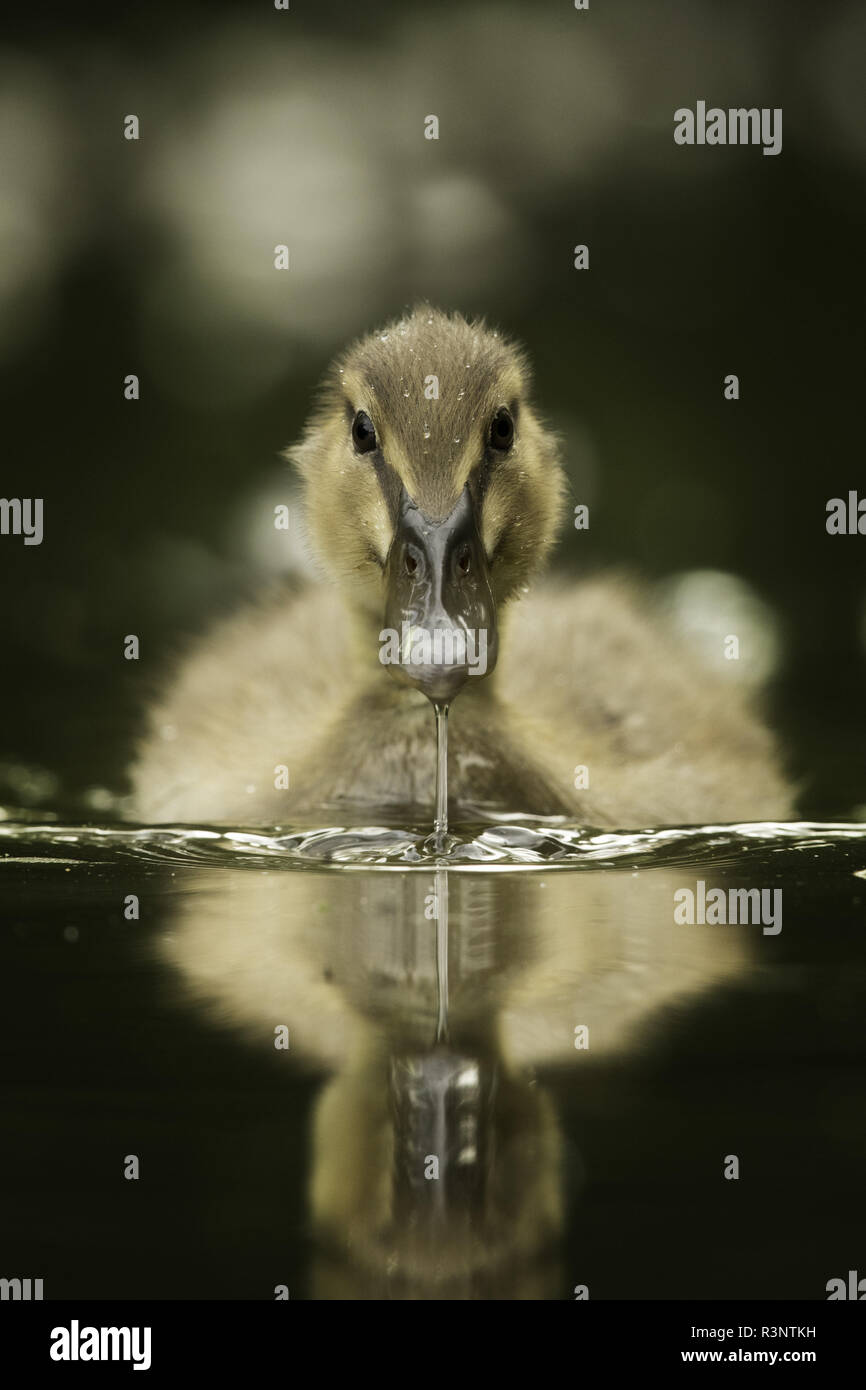 A young Mallard (Anas platyrhynchos) approaches in the Peak District National Park. Lying along the edge of the canal watching two Mallard ducklings sleeping on the edge of the canal, they eventually stirred and jumped back in the water, swimming towards me at haste. - Stock Image
