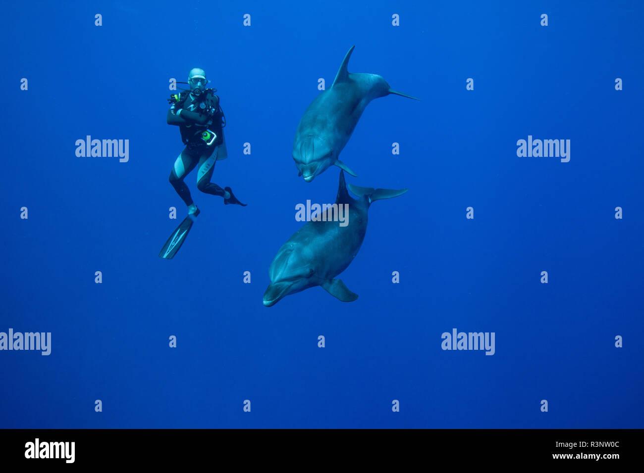 Diver and bottlenose dolphin (Tursiops truncatus), Rangiroa, Tuamotu, French Polynesia - Stock Image