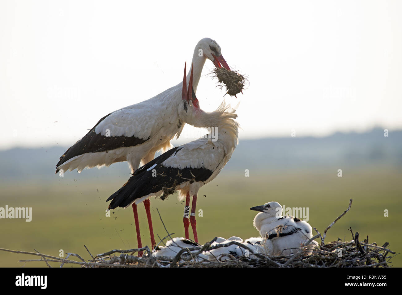 White stork (Ciconia ciconia), couple with youngs on the nest, France Stock Photo