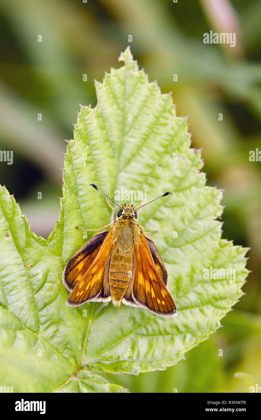 Large Skipper (Ochlodes venatus) on the foliage, Alsace, France Stock Photo