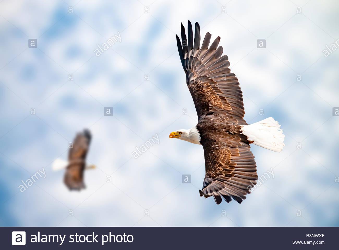 Zwei Adler mit ausgebreiteten Schwingen - Stock Image