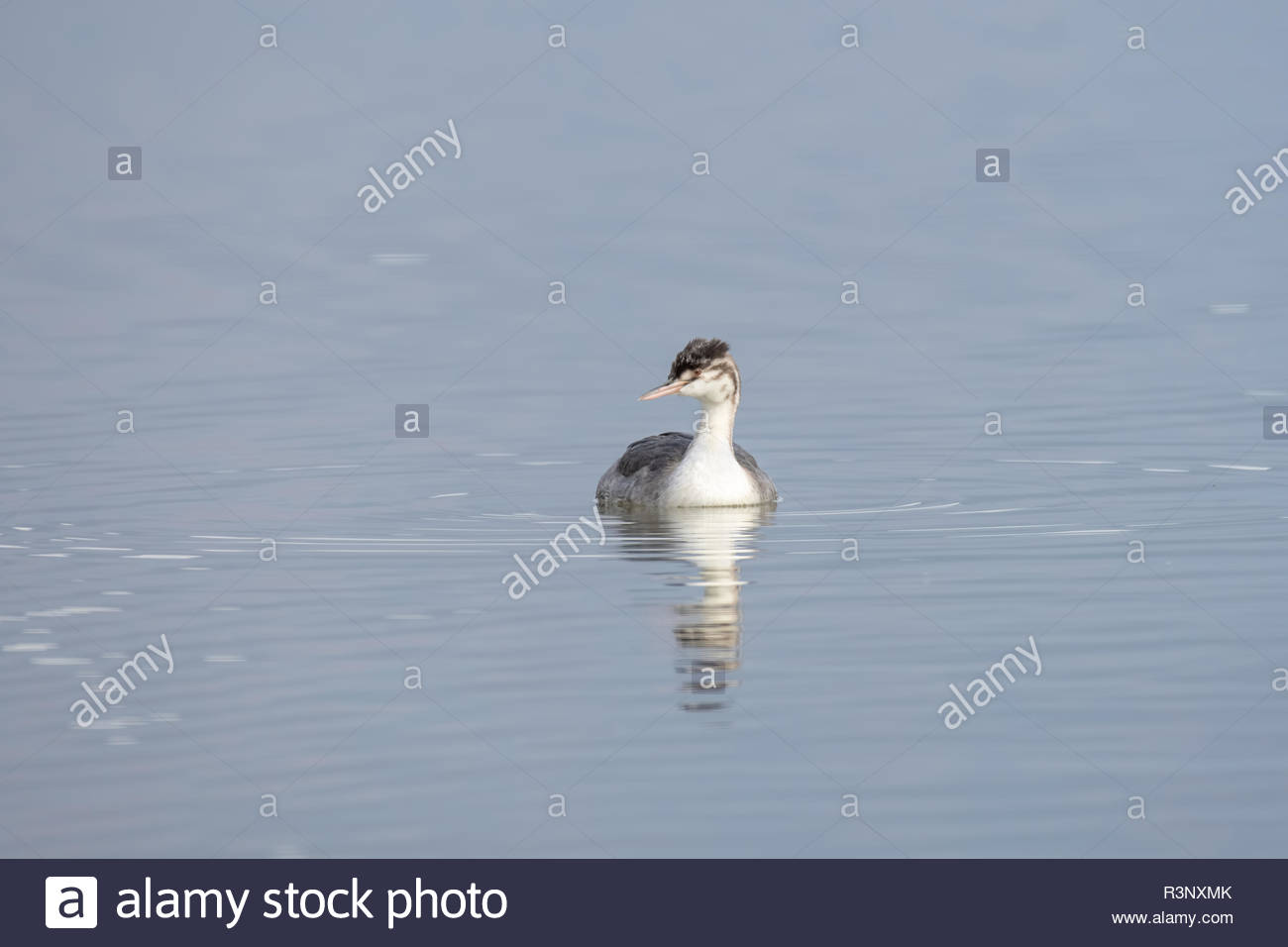 The Great Crested Grebe is a medium to large aquatic bird, and is the largest of the grebes. - Stock Image