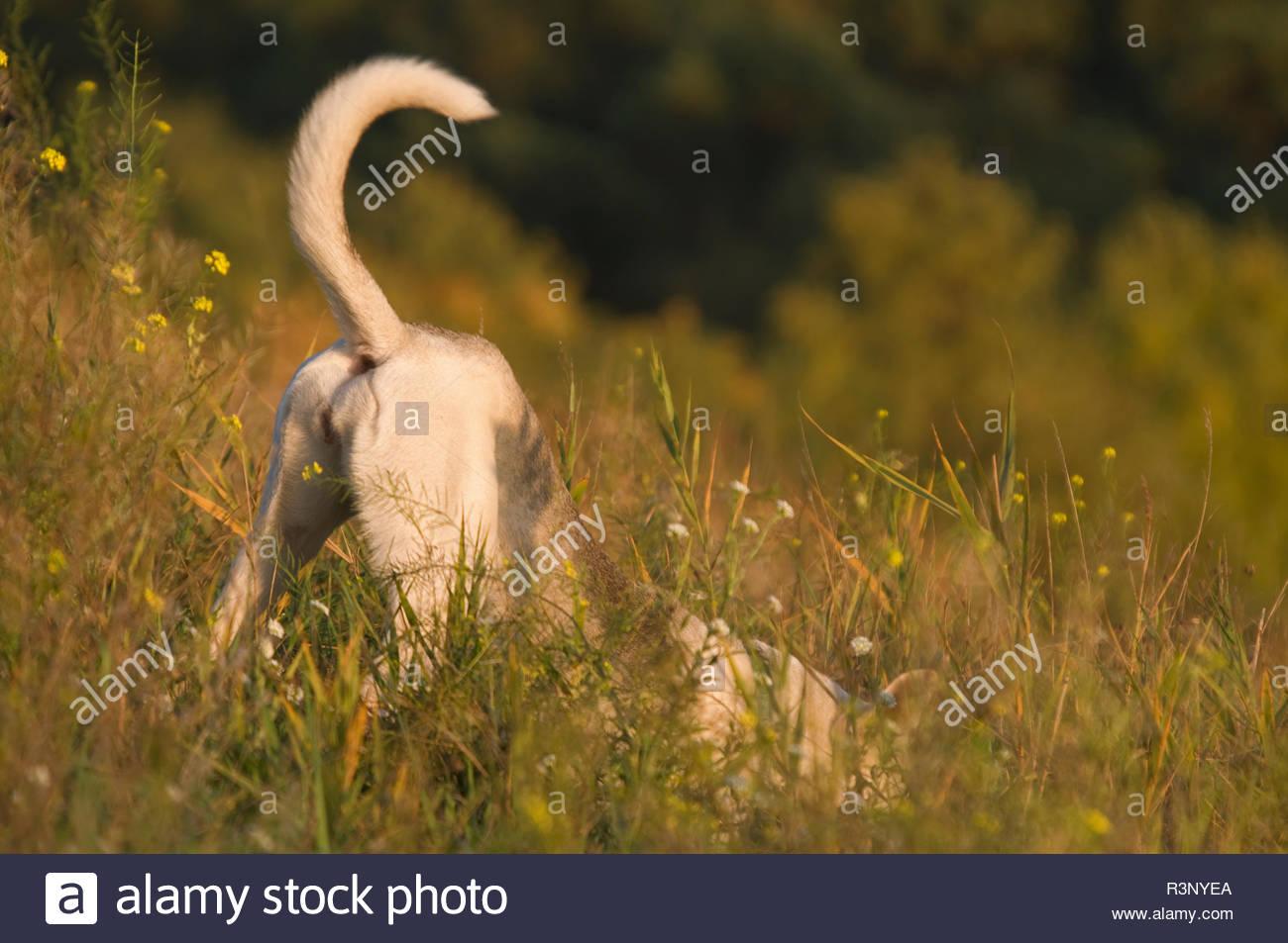 Hund auf der Jagd - Stock Image