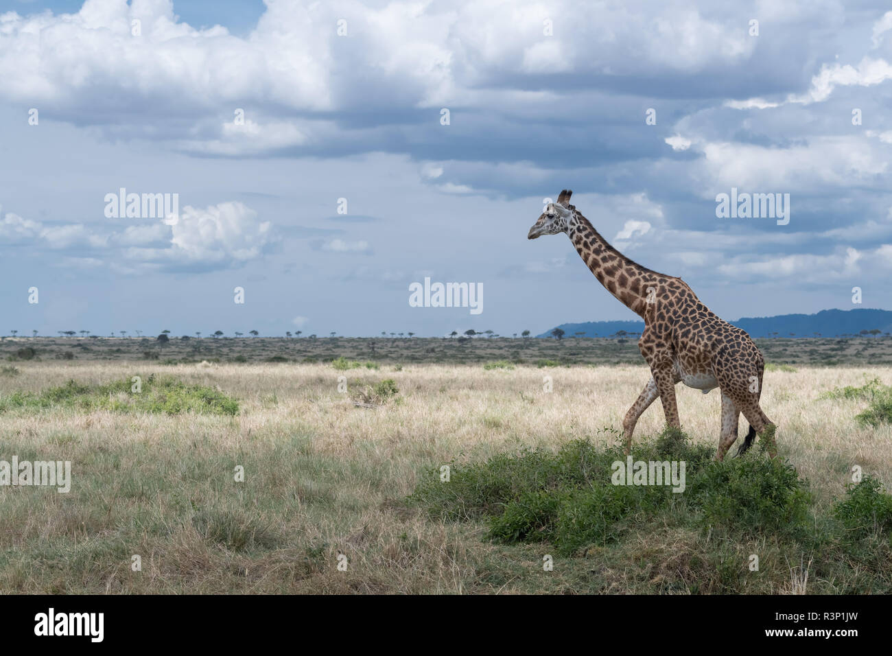 Masai giraffe (Giraffa camelopardalis tippelskirchii) in Maasai Mara region of Kenya in east Africa Stock Photo