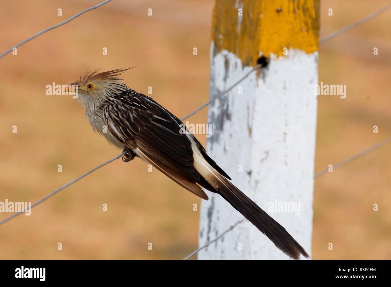 Guira Cuckoo (Guira guira) on a wire, Pantanal, Brazil - Stock Image