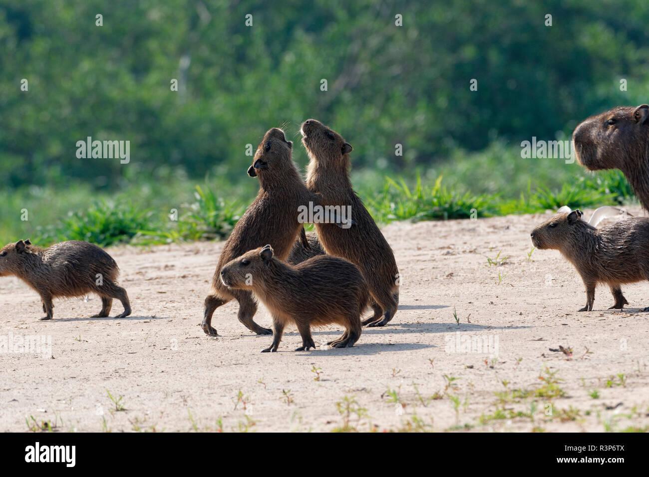 Capybara (Hydrochoerus hydrochaeris) young playing, Pantanal, Brazil - Stock Image