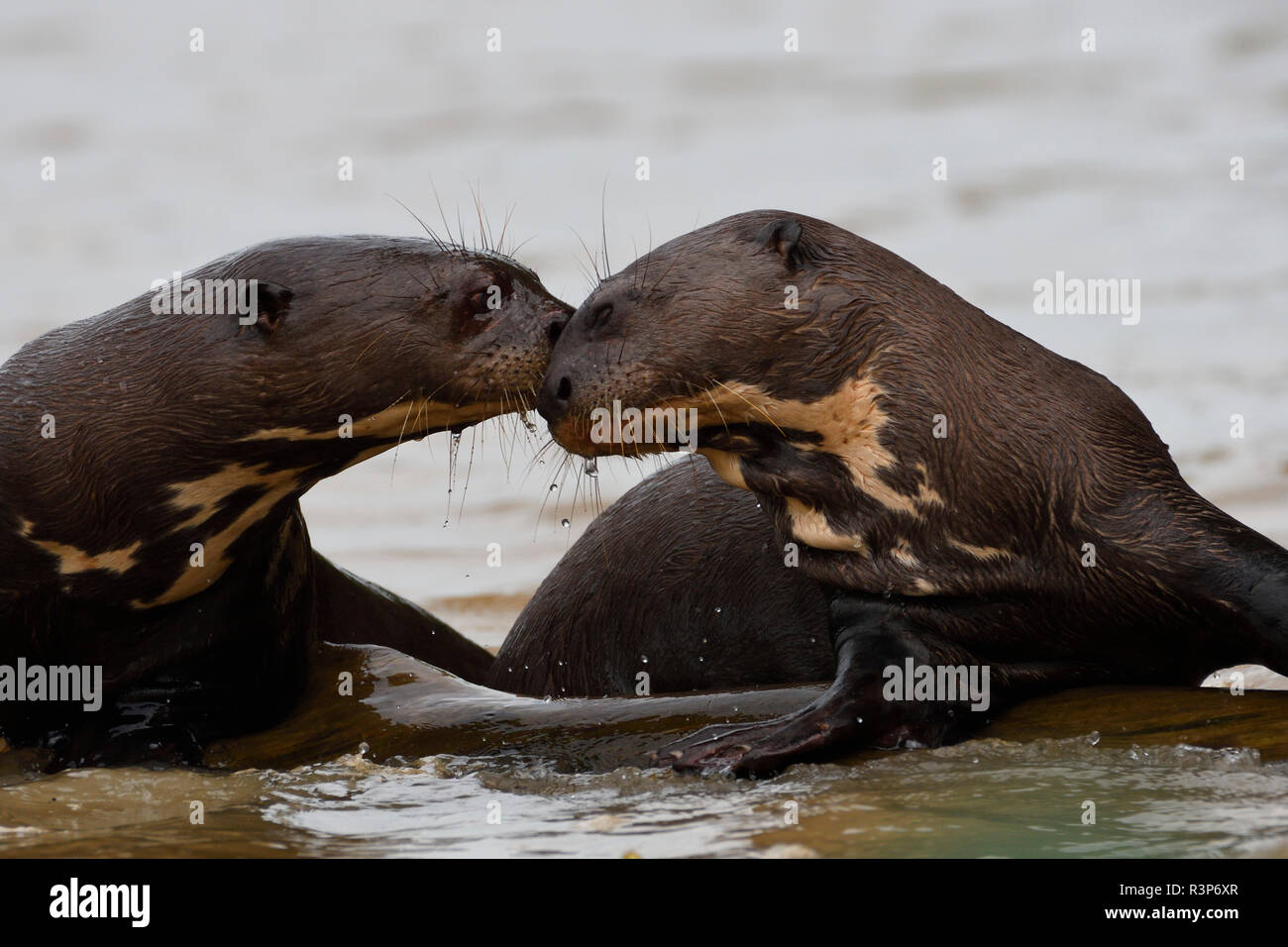 Giant Otter (Pteronura brasiliensis) playing together in water, Pantanal, Brazil - Stock Image