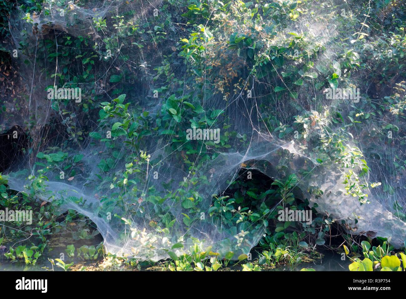 Social Spider (Anelosimus eximius) net, Pantanal, Brazil - Stock Image