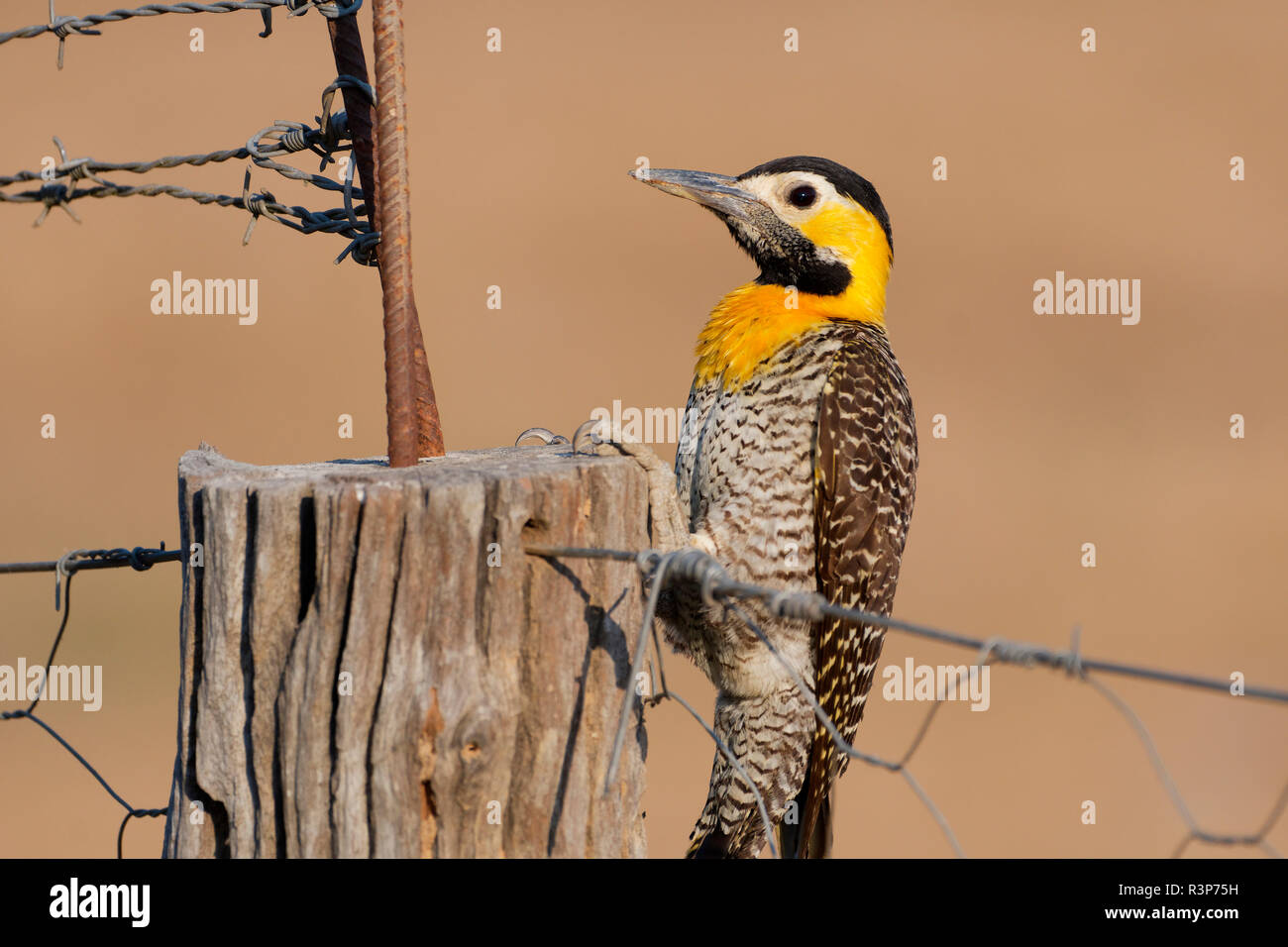Campo Flicker (Colaptes campestris) on a fence, Pantanal, Brazil - Stock Image