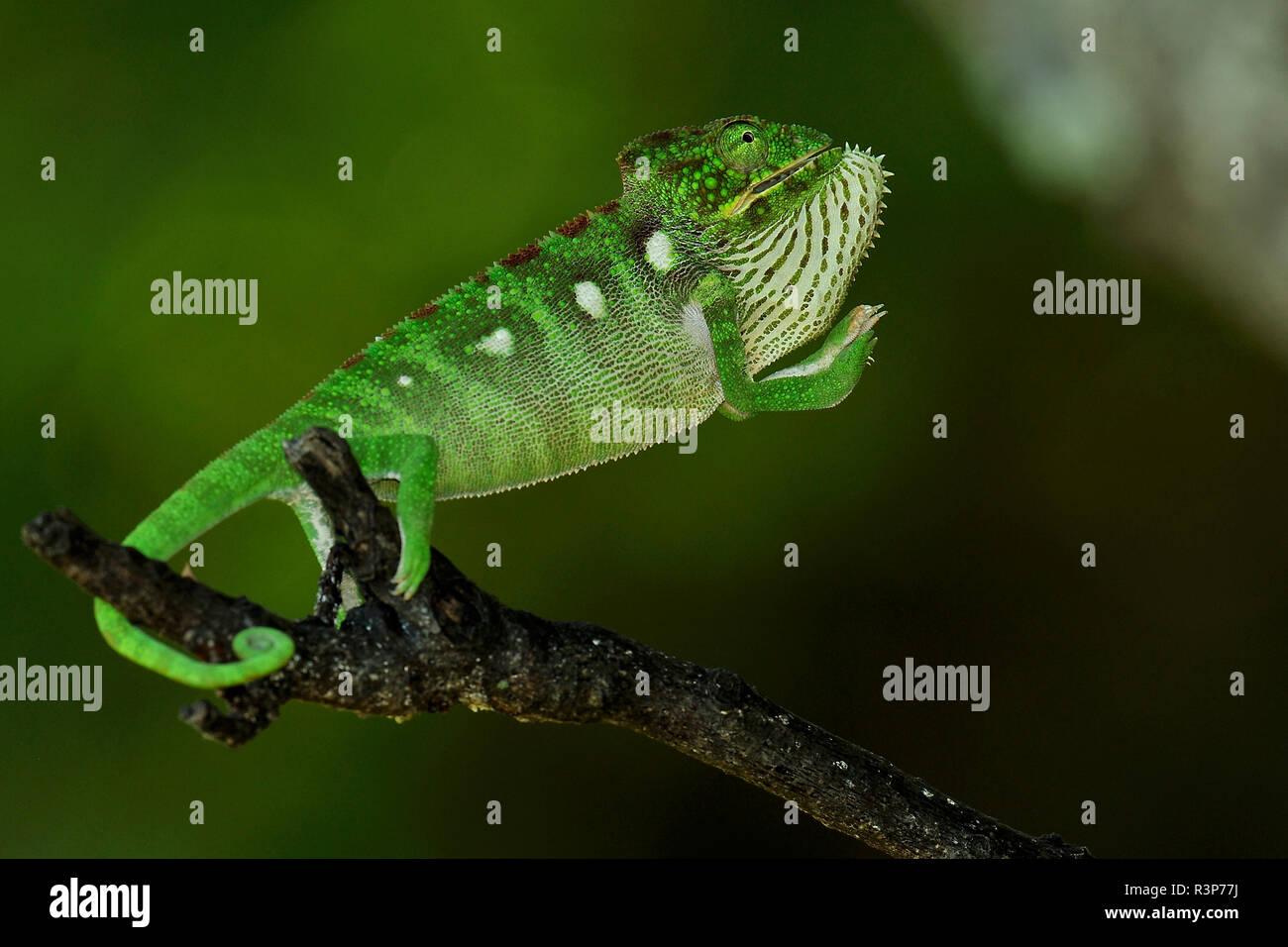 Oustalet's Chameleon (Chamaeleo oustaleti) in intimidation posture, Forest of Anja, Ambalavao region, Madagascar - Stock Image