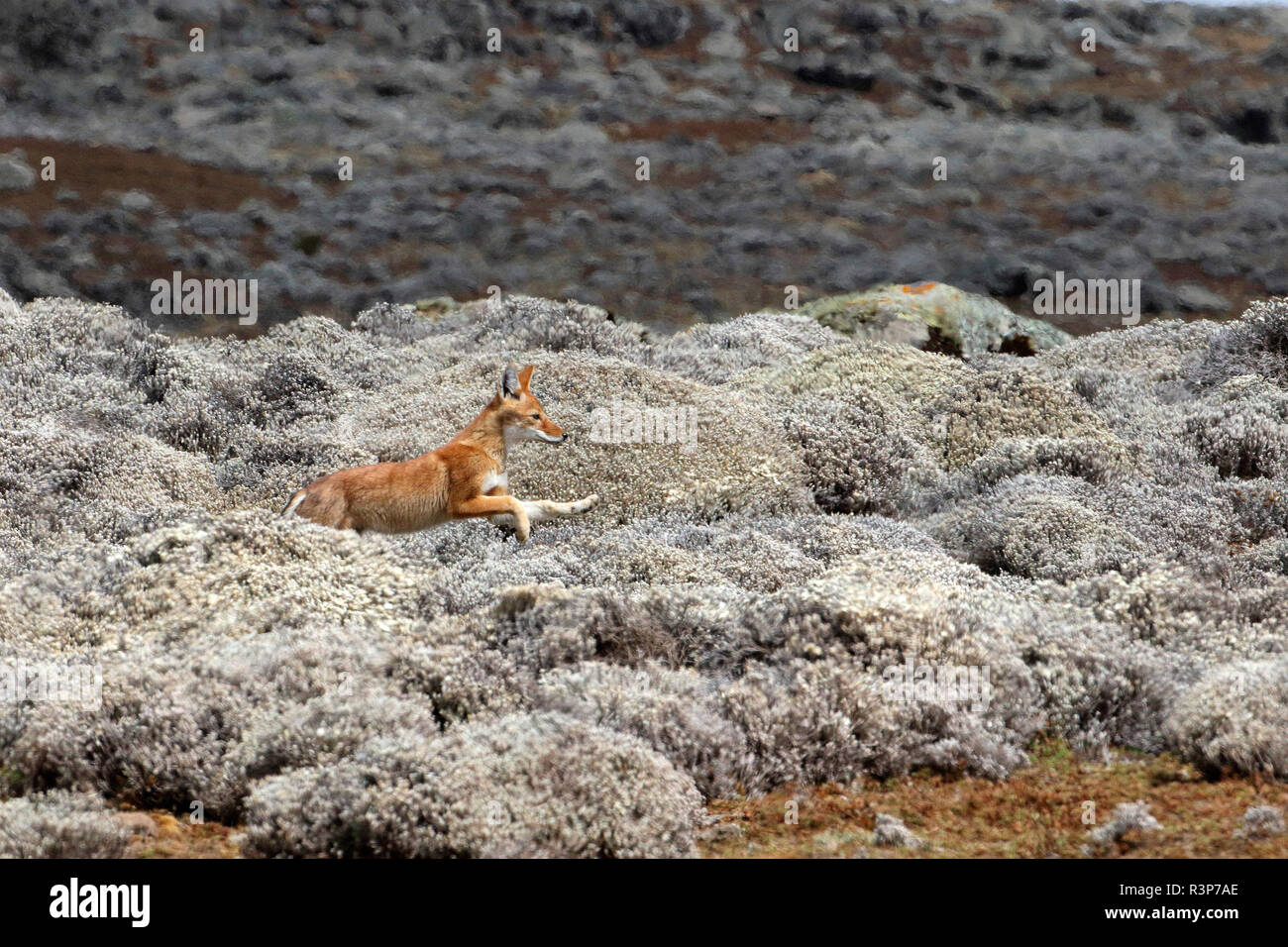 Simian jackal (Canis simensis) young among Cape Gold, Bale Mountains, Ethiopia - Stock Image