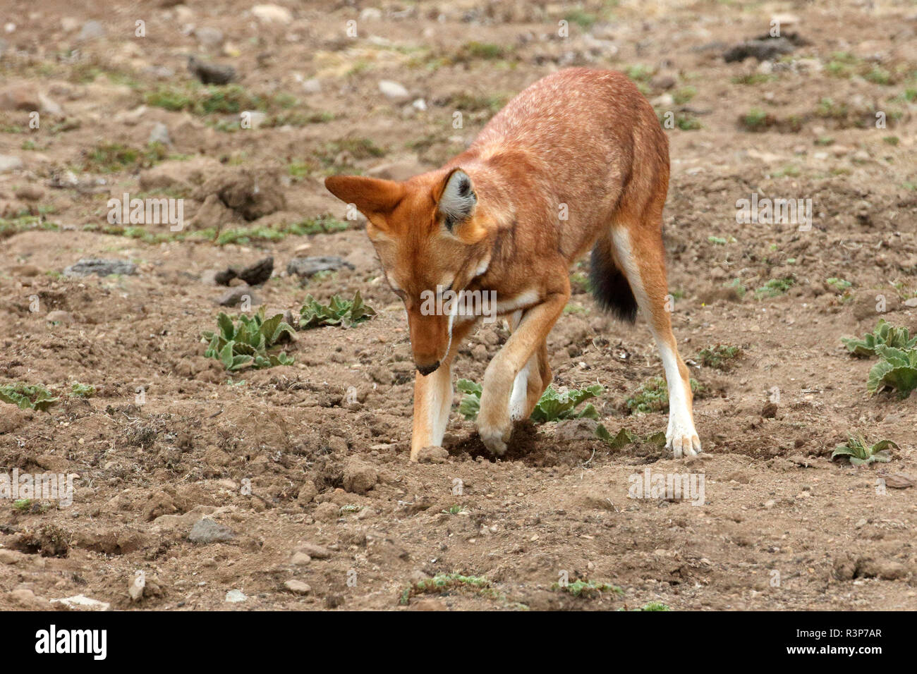 Simian jackal (Canis simensis) hunting a mole rat among Cape Gold, Bale Mountains, Ethiopia - Stock Image