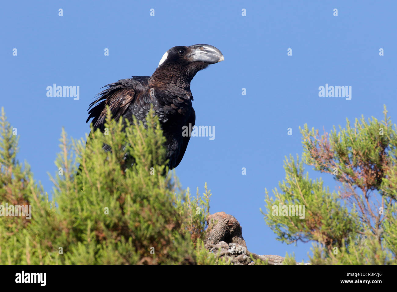 Thick-billed Raven (Corvus crassirostris) on Giant Heather, Simien National Park, Ethiopia - Stock Image
