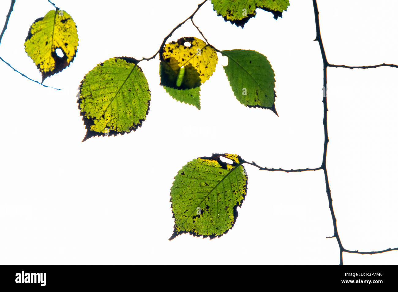 Birch Leaves (Betula sp) on a white background, Muniellos nature reserve, Asturias, Spain - Stock Image