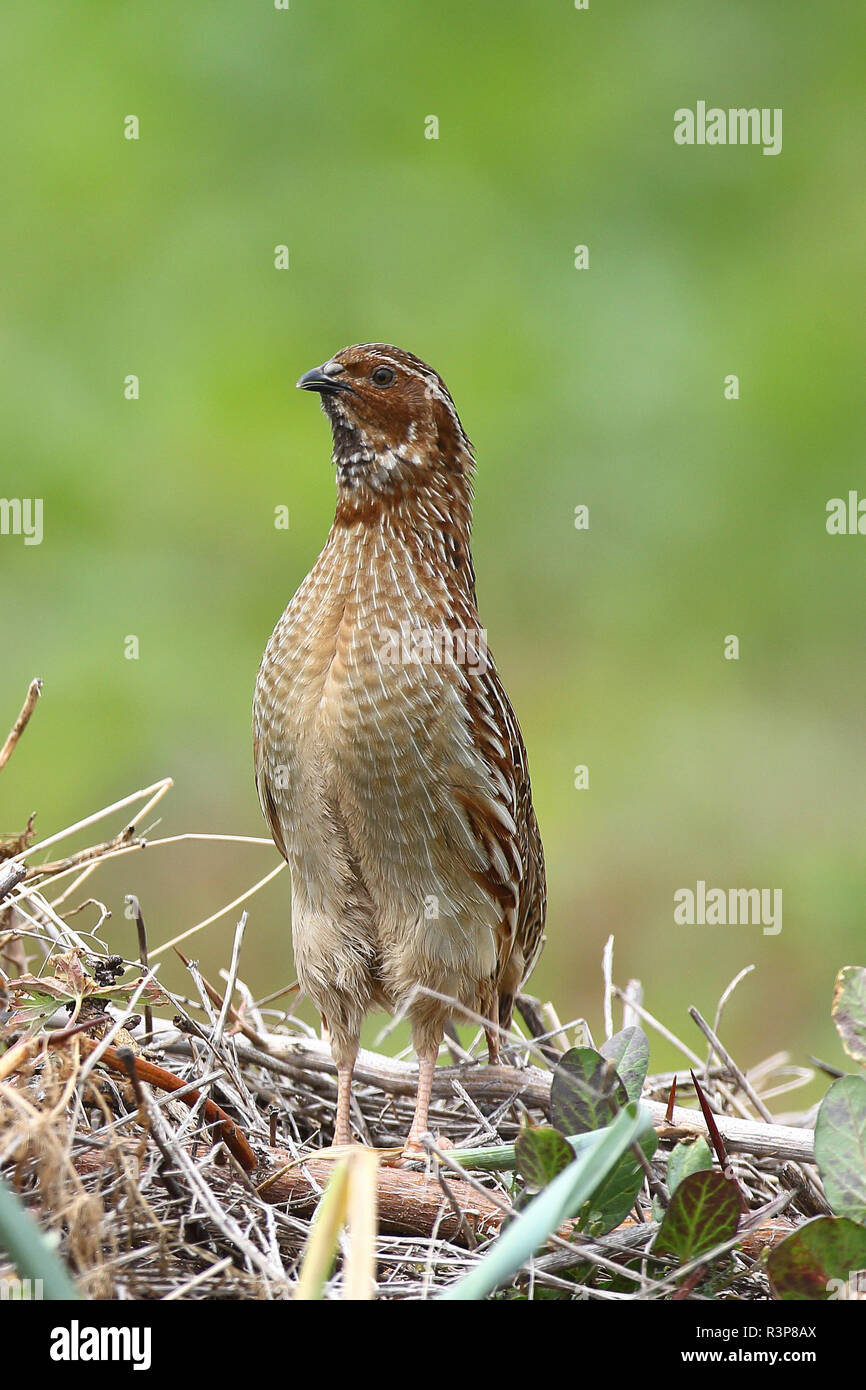 Common Quail (Coturnix coturnix) male in spring, Bay of Mont St-Michel, Normandy, France - Stock Image