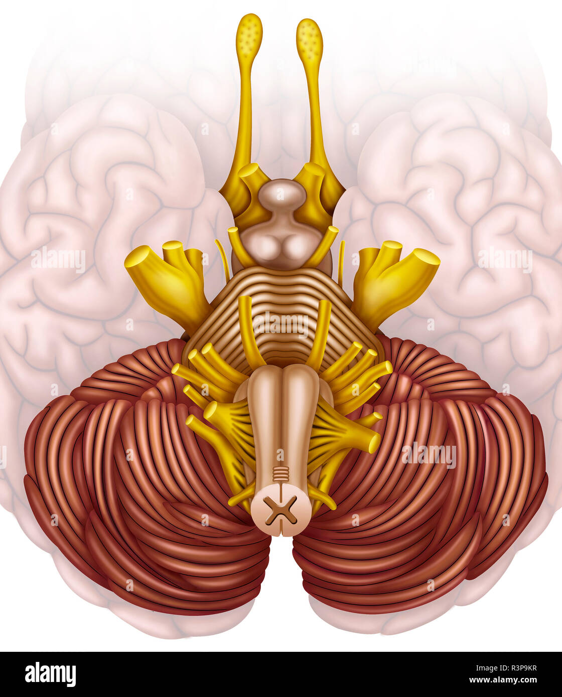 Schematic and descriptive illustration of the human brain stem. - Stock Image