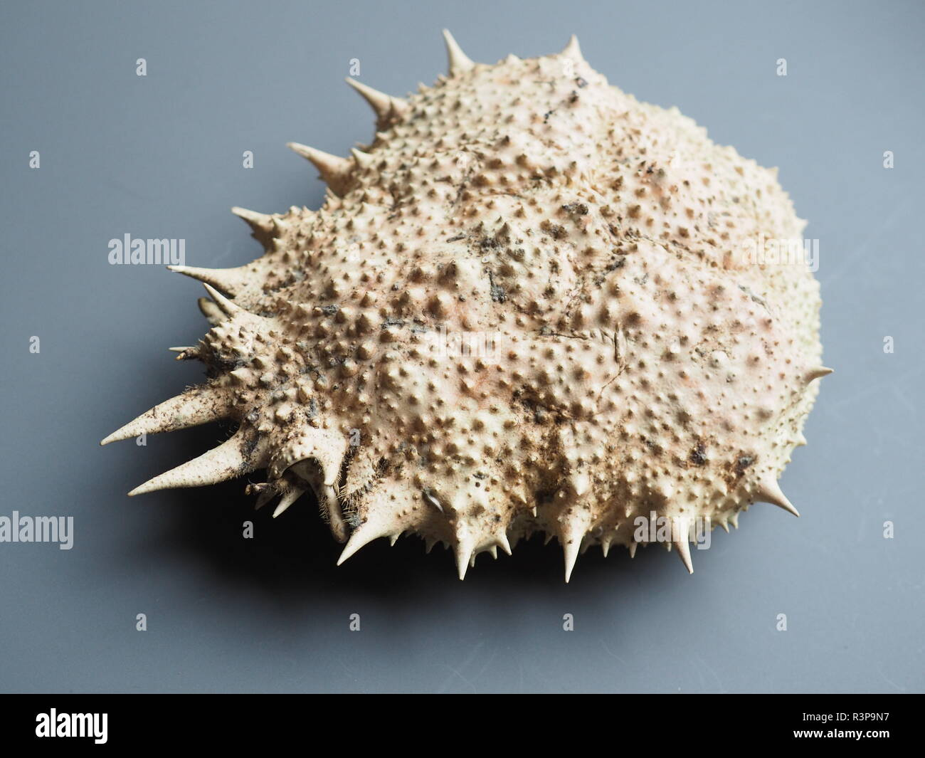 crab body - Stock Image