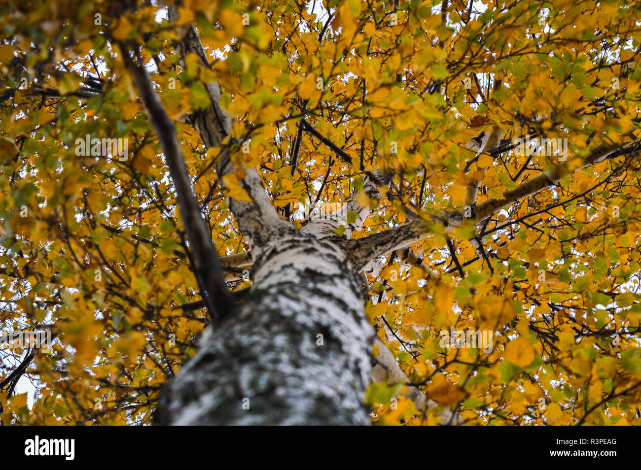 birch leaves - Stock Image