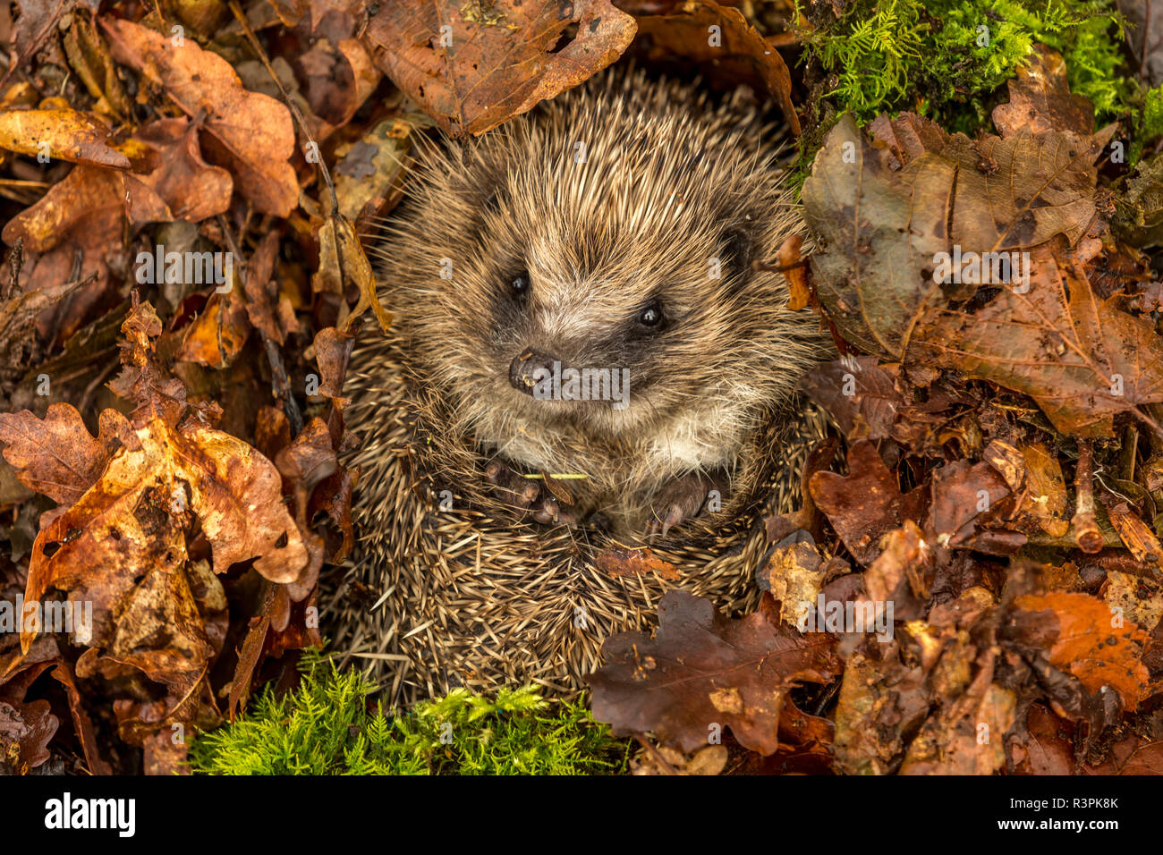 Hedgehog, Erinaceus europaeus, Wild, native hedgehog, curled into a ball and preparing for hibernation in golden Autumn leaves and green moss. - Stock Image